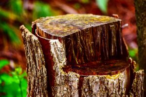 how to remove a stump in your yard Honlulu Hawaii